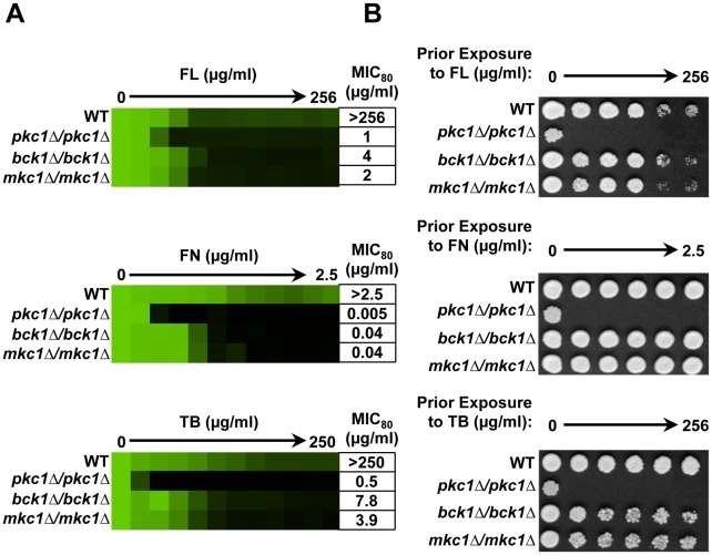 Pkc1 enables basal tolerance to ergosterol biosynthesis inhibitors in part via the MAPK cascade in Candida albicans . ( A ) Deletion of PKC1 , BCK1 or MKC1 reduces tolerance to fluconazole (FL), fenpropimorph (FN), and terbinafine (TB) in MIC assays. Assays were performed in YPD medium at 35°C with strains derived from the WT SN95. Data was analyzed after 72 hours growth as in Figure 1A . The minimum drug concentration that inhibits growth by 80% relative to the drug-free growth control (MIC 80 ) is indicated for each strain. ( B ) Deletion of PKC1 , but not MAPK components, creates a fungicidal combination with the ergosterol biosynthesis inhibitors in C. albicans . MIC assays with four-fold dilutions of FL, FN, and TB were performed in YPD and incubated for 48 hours at 35°C. Cells from the MIC assays were spotted onto YPD medium and incubated at 30°C for 48 hours before plates were photographed.