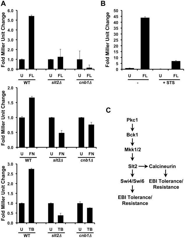 Compromising PKC-MAPK signaling blocks calcineurin activation in response to ergosterol biosynthesis inhibitors in S. cerevisiae . ( A ) Genetically compromising PKC-MAPK signaling by deleting SLT2 blocks calcineurin activation monitored with a 4XCDRE- lacZ reporter. β-galactosidase activity was measured after incubation in SD medium for 24 hours without any antifungal (U) or in the presence of ergosterol biosynthesis inhibitors at the following concentrations: 16 µg/mL fluconazole (FL), 1 µg/mL fenpropimorph (FN), or 25 µg/mL terbinafine (TB). While the WT strain exhibited increased β-galactosidase activity in response to ergosterol biosynthesis inhibitors, deletion of SLT2 or CNB1 (which encodes the regulatory subunit of calcineurin) blocked calcineurin activation. Data are means ± SD for triplicate samples and are representative of two independent experiments. ( B ) Pharmacological inhibition of PKC signaling with staurosporine (STS) blocks calcineurin activation monitored with a 4XCDRE- lacZ reporter. β-galactosidase activity was measured after incubation in SD medium (-) or in SD with 2.5 µg/mL STS. Cells were then treated with 32 µg/mL FL or were left untreated (U). Data are means ± SD for triplicate samples and are representative of two independent experiments. ( C ) Simplified schematic of how S. cerevisiae Pkc1 regulates responses to ergosterol biosynthesis inhibitors (EBIs) important for basal tolerance and resistance.