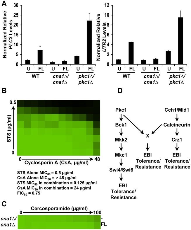 PKC signaling and calcineurin independently regulate tolerance to ergosterol biosynthesis inhibitors via a common target in C. albicans . ( A ) Deletion of C. albicans PKC1 does not block EBI-induced activation of calcineurin. Transcript levels of two calcineurin-dependent genes, PLC3 and UTR2 , were measured by quantitative RT-PCR after growth in rich medium at 35°C for 6 hours without any antifungal (U) or with 16 µg/mL fluconazole (FL), as indicated. Transcripts were normalized to GPD1 . Levels are expressed relative to the untreated wild-type samples, which were set to 1. Data are means ± SD for triplicate samples and are representative of two independent experiments. ( B ) Simultaneous inhibition of calcineurin and Pkc1 signaling does not synergistically decrease FL tolerance of a WT strain (SN95). A fractional inhibitory concentration (FIC) assay was carried out in YPD medium containing a fixed concentration of 0.5 µg/mL FL and gradients of the calcineurin inhibitor cyclosporin A (CsA) and the PKC inhibitor staurosporine (STS). Data was analyzed after growth at 35°C for 48 hours as in Figure 1A . The minimum concentration of STS or CsA that inhibits growth by 80% relative to the FL-only growth control (MIC 80 ) individually or in combination is indicated along with the FIC. ( C ) FL tolerance of a mutant lacking the catalytic subunit of calcineurin is not sensitive to inhibition of PKC signaling. MIC assays were performed in YPD medium only (-) or YPD with a fixed concentration of 0.5 µg/mL FL. ( D ) Simplified schematic of how C. albicans Pkc1 regulates responses to ergosterol biosynthesis inhibitors (EBIs) important for basal tolerance and resistance.