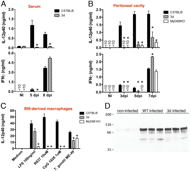 UNC93B1 mutation affects IL-12 and early IFNγ production. (A) Levels of IL-12p40 and IFNγ produced by splenocytes collected from non-infected controls, as well as mice at 5 and 8 days after infection with T. gondii . Spleen cells were cultured for 24 h in absence of exogenous stimuli. (B) Levels of cytokines present in the peritoneal cavity exudate of non-infected controls, as well as mice at 3, 5 or 7 days after intraperitoneal infection with T. gondii cysts. (C) Wild-type, 3d and MyD88 knockout bone marrow-derived macrophages were stimulated overnight with various TLR agonists or infected with T. gondii (MOI 5∶1), and cytokine levels in supernatants quantified by ELISA. (D) Immunoblot analysis of STAT-1 phosphorylation in splenocytes collected from animals either non-infected or at 8 days after infection. Asterisk indicates that p