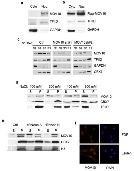 MOV10 is predominantly nuclear and associated with chromatin. ( a ) Cytoplasmic and nuclear extracts from 293T cells were immublotted with antibodies against MOV10 (Ab13). TFIID and GAPDH were used as controls for the nuclear and cytoplasmic proteins respectively. ( b ) A similar experiment was performed with 293T cells transfected with a vector encoding Flag-tagged MOV10. ( c ) 293T expressing a lentiviral control shRNA (Ctrl) or two independent shRNAs targeting MOV10 (sh1 and sh2) were subjected to biochemical fractionation. The cytosolic S1, nuclear soluble fractions S2 and S3 and the chromatin-enriched fraction P3 were separated by SDS-PAGE and immunoblotted with the indicated antibodies. ( d ) Purified nuclei from 293T cells were extracted with increasing concentrations of NaCl, as indicated, and the proportion of MOV10 in the supernatant (S) or pellet (P) was determined by immunoblotting. CBX7 and TFIID were used as controls. ( e ) Purified nuclei were incubated with RNAse A, RNAse H or buffer alone (Ctrl) and the nucleoplasmic (S) and chromatin-enriched (P) fractions were immunoblotted for endogenous MOV10, CBX7 and histone H3 (as a control). ( f ) Immunofluorescence detection of endogenous MOV10 (red) in the FDF and Leiden strains of primary fibroblasts. Nuclei were visualized with DAPI.