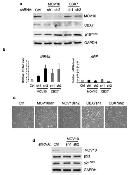 MOV10 contributes to the regulation of INK4a in primary fibroblasts. ( a ) FDF cells were infected with lentiviruses encoding a control shRNA (Ctrl) and two independent shRNAs against MOV10 and CBX7 respectively (sh1 and sh2). The knockdown efficiency and the effect on p16 INK4a were assessed by immunoblotting with antibodies against MOV10, CBX7 and p16 INK4a . GAPDH was used as a loading control. ( b ) Effects of MOV10 and CBX7 shRNAs on INK4a and ARF <t>RNA</t> levels as determined by <t>qRT-PCR.</t> Error bars, s.d.; n =3. ( c ) Phase contrast photographs showing the enlarged and flattened appearance of cells expressing the MOV10 and CBX7 shRNAs. ( d ) Following knockdown of MOV10 (as in panel a ), cell lysates were immunoblotted for p53 and p21 CIP1 as indicated. GAPDH was used as a loading control.