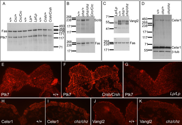 Examination of expression of Vangl2 and Celsr1 in chuzhoi mutants, and Ptk7 in Vangl2 and Celsr1 mutants . (A) Western blot analysis of Ptk7 expression in total cell lysates from E8.5 Scrib Crc/Crc , Vangl2 Lp/Lp , and Celsr1 Crsh / Crsh mutants, compared to heterozygous and wild-type littermates; fatty acid synthase (Fas) was used as a loading control. No obvious difference in Ptk7 expression levels was observed in any of the mutants. (B-D) Western blot analysis of Scrib (B), Vangl2 (C) and Celsr1 (D) expression in total cell lysates from E8.5 chuzhoi mutants, compared to heterozygous and wild-type littermates; fatty acid synthase (Fas) or β-tubulin were used as loading controls. Inclusion of protein extracts from circletail and loop-tail homozygotes were used to help validate anti-Scrib and anti-Vangl2 antibody specificity, respectively. No reproducible difference was observed between chuzhoi mutant and wild-type samples, for expression of either Scrib, Vangl2 or Celsr1. (E-K) Immunofluorescence on transverse sections of E8.0 embryos with antibodies for Ptk7 (E-G), Celsr1 (H, I) and Vangl2 (J, K) in wild-type (E, H, J), Celsr1 Crsh / Crsh (F), Vangl2 Lp/Lp (G) or chuzhoi mutant (I, K) embryos. Ptk7, Celsr1 and Vangl2 are detected around the membrane of neuroepithelial cells, and no clear expression difference was observed in the mutant embryos.