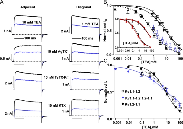 Adjacently and diagonally arranged Kv1.1 and 1.2 tandem-linked gene constructs gave channels that were distinguished by TEA, but not AgTX1, TsTX-Kα, or KTX. (A) Current traces recorded using QPatch from an adjacent (Kv1.1-1.1-1.2-1.2) and diagonal (Kv1.2-1.1-1.2-1.1) channel in the absence (black) and presence of TEA, AgTX1, TsTX-Kα, or KTX (blue). (B) Dose–response curves for the forward and reverse adjacent channels show an ∼10-fold lower affinity for TEA than the corresponding diagonals. ○, Kv1.1-1.1-1.2-1.2; n = 5 cells for each concentration, manual patch clamp; Hill equation fit IC 50 = 9.6 mM, slope = 0.8. •, Kv1.2-1.2-1.1-1.1; Qpatch, n = 2–3; 8.2 mM, 0.6. □, Kv1.1-1.2-1.1-1.2; n = 4, Qpatch; 0.9 mM, 0.6. (blue) □, Kv1.1-1.2-1.1-1.2; n = 6–8, manual patch clamp; 1.1 mM, 0.6. ▪, Kv1.2-1.1-1.2-1.1; n = 3–5, Qpatch; 0.8 mM, 0.7. (Inset) Non-concatenated (red ▴; n = 6–7; 0.4 mM, 0.6) and concatenated (black ▴; n = 2–4; 0.7 mM, 0.7) homotetrameric Kv1.1 channels showed almost identical sensitivity to TEA, as with the less sensitive homotetrameric Kv1.2 (red ▾; n = 2–4; 41 mM, 0.6) channel and the tandem-linked homotetramer (black ▾; n = 3; 36 mM, 0.5). All homomer data were from Qpatch. (C) Channel dimers showed TEA susceptibilities similar to that for the pair of adjacently arranged tetrameric concatamers. □, Kv1.1-1.2; n = 8; 9.3 mM, 1.0. •, Kv1.2-1.1; n = 5–6; 7.8 mM, 0.7. ◆, Kv1.1-1.2 + Kv1.2-1.1; n = 9–11; 9.5 mM, 0.4. Data were from Qpatch. Error bars represent ± SEM.