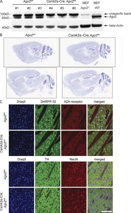 Ago2 is dispensable for brain organization and neuronal maintenance in the adult brain. (A) Conditional inactivation of Ago2 in adult neurons. Expression of Ago2 was analyzed by Western blotting of the striatal protein lysates derived from three Ago2 fl/fl mice (lanes 1–3), and three Camk2a -Cre; Ago2 fl/fl mice (lanes 4–6). The lysates derived from Ago2 −/− and WT mouse embryonic fibroblasts (MEF) were used as controls for the specificity of the anti-Ago2 antibodies. Equal protein concentration in the samples was controlled by β actin loading. (B and C) Ago2 deficiency in the forebrain does not affect brain morphology. (B) The overall brain morphology of 12-wk-old Camk2a -Cre; Ago2 fl/fl and Ago2 fl/fl control mice was analyzed using standard Nissl-stain ( n = 3/genotype). Two representative images from sagittal brain sections of mice of both genotypes are shown. (C) Saggital brain sections of Ago2 fl/fl and Camk2a -Cre; Ago2 fl/fl mice are shown ( n = 3/genotype). Striatal morphology was analyzed by visualizing Drd1 and Drd2 MSNs (top) using antibodies against the MSN-enriched protein <t>DARPP-32</t> (green) and the Drd2-MSN–specific adenosine 2A (A2A) receptor (red); the dopaminergic terminals (bottom) were visualized by expression of the dopamine-producing enzyme TH (green), and neuronal nuclei in the striatum were visualized by using the neuron-specific marker <t>NeuN</t> (red). The nucleus of each cell was visualized using Draq5 DNA staining (blue). Bar, 100 µm.