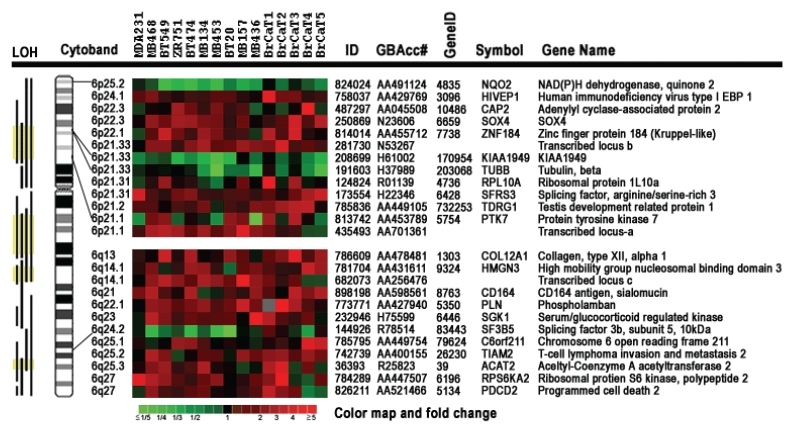 Expression patterns of 25 chromosome 6-encoded genes in 10 breast cancer cell lines and 5 cases of breast cancer tumor tissues compared with the chromosome 6-mediated suppressed non-tumorigenic and non-metastatic breast cancer cell line MDA/H6. The gene expression ratio between MDA-MB-231 and MDA/H6 were derived from 12 microarray images with <t>Cy3</t> and Cy5 dye sways in <t>cDNA</t> labeling, while the ratio between others and MDA/H6 were from the duplicate microarrays. Cytobands indicate chromosome 6 band regions of the resultant genes. The color map indicates fold changes in expression ratios. LOH: loss of heterozygosity was based on the compiled data from the PUBMED literature. Yellow color indicates the highest frequency in LOH documented in literature; EBP: enhancer-binding protein.