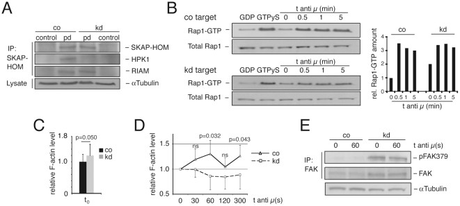 HPK1 associates with SKAP-HOM and negatively regulates Rap1 activation. (A) SKAP-HOM was immunoprecipitated in unstimulated Wehi 231 co/kd cells and pulldowns were detected for SKAP-HOM, HPK1 and RIAM expression by Western blotting; plots are representative for four independent experiments. (B) Left: Active Rap1-GTP of untreated and anti-IgM F(ab')2 (anti µ) stimulated co and kd cells was pulled down with Ral GDS RBD agarose and analysed together with total Rap1 levels by anti-Rap1 Western blotting; quantification of band intensities was performed by normalizing total Rap1 levels of lysates by densitometric evaluation (ImageJ) and all time points of Rap1-GTP samples were compared to the control target at t 0 = 1; GDP/GTP: negative/positive control; right: graph representative for three independently performed experiments. (C) F-actin levels (means ± SD; Student's t; n = 6) of untreated co and kd cells measured by Phalloidin-FITC flow cytometric staining. (D) F-actin levels (means ± SD; Student's t; n = 6) of anti-IgM F(ab')2 (anti µ) stimulated co and kd cells. (E) Untreated and anti-IgM stimulated FAK immunoprecipitates of Wehi 231 co and kd cells were detected for total FAK and pFAK379 expression by Western blotting (n = 3); ns, not significant; pd, pulldown.
