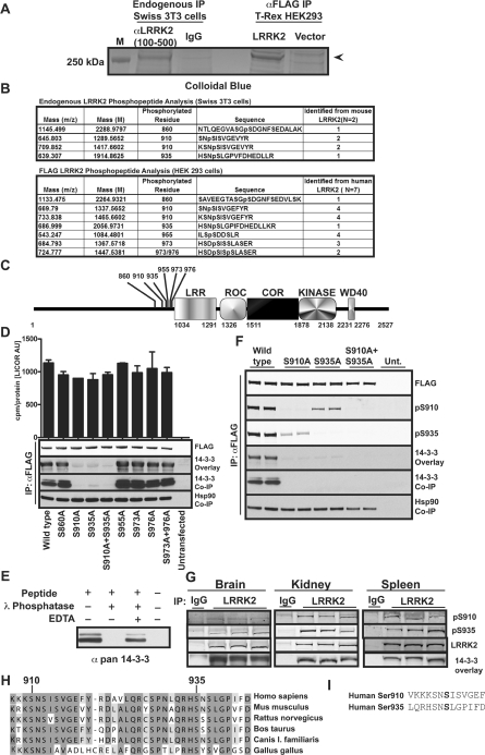 Ser 910 and Ser 935 phosphorylation mediate binding of LRRK2 to 14-3-3 ( A ) Endogenous LRRK2 was immunoprecipitated (IP) with anti-LRRK2-(100–500) (S348C) antibody from Swiss 3T3 cells and FLAG–LRRK2 was immunoprecipitated with anti-FLAG–agarose from stable inducible T-REx HEK-293 cells. Immunoprecipitates were subjected to electrophoresis on a 4–12% Novex SDS/polyacrylamide gel and stained with Colloidal Blue. The gel is representative of several experiments. LRRK2 tryptic peptides were subjected to LC-MS/MS on an LTQ-Orbitrap mass spectrometer. M, molecular-mass marker. ( B ) Phospho-peptides identified by LTQ-Orbitrap MS shown in tabular format. Observed mass ( m / z ) and predicted mass (M) are shown, and the site of phosphorylation and peptide sequence are identified. The number of experiments evaluated ( N ) is indicated at the top of the column and the number of times, in total, the phosphorylated peptide was identified is indicated. ( C ) Domain structure of LRRK2 is presented to scale, with amino acid residues indicating domain boundaries indicated. Positions of identified phosphorylation sites are shown. LRR, leucine-rich repeat. ( D ) The indicated phosphorylation sites identified in ( A ) and ( B ) were mutated to an alanine residue and transiently expressed in HEK-293 cells. LRRK2 was immunoprecipitated with anti-FLAG–agarose and equal amounts of each protein were probed with FLAG (total) and the ability to directly bind 14-3-3 was assessed in an overlay assay. 14-3-3 and Hsp90 co-immunoprecipitation (Co-IP) was determined by immunoblotting the immunoprecipitates with the indicated antibodies. Kinase activity was assayed against 30 μM Nictide and specific activity was determined by correcting incorporation of phosphate for protein levels in the immunoprecipitate by quantitative immunoblot using the Odyssey system and is presented as c.p.m./absorbance units (cpm/LICOR AU). The data are the average for duplicate experiments that were repeated four separate times with similar results. ( E ) Streptavidin–agarose was conjugated to a biotinylated di-phosphorylated peptide encompassing Ser 910 (pS910) and Ser 935 (pS935) and incubated in the presence or absence of λ phosphatase in the presence or absence of the EDTA phosphatase inhibitor. The agarose beads were then incubated with HEK-293 cell lysates and interaction of 14-3-3 was assessed after beads were extensively washed and subjected to 14-3-3 immunoblot analysis. ( F ) The indicated forms of FLAG–LRRK2 were expressed in HEK-293 cells by transient transfection. Post-transfection (36 h), these were immunoprecipitated with anti-FLAG antibody and immunoblotted with phospho-specific antibodies against Ser 910 (S357C) and Ser 935 (S814C). Direct binding of immunoprecipitates to 14-3-3 was also assessed by a 14-3-3 overlay assay and co-immunoprecipitation of 14-3-3 and Hsp90 was assessed by immunoblotting with the respective antibodies. Unt., untransfected. ( G ) LRRK2 was immunoprecipitated from tissues of wild-type male C57BL/6 mice and immunoblotted for Ser 910 and Ser 935 phosphorylation and 14-3-3 binding was assessed by overlay assay as in ( F ). ( H ) Multiple sequence alignment of LRRK2 from Homo sapiens (NP_940980), Pan troglodytes (XP_001168494), Mus musculus (NP_080006), Rattus norvegicus (XP_235581), Bos taurus (XP_615760), Canis lupus familiaris (XP_543734) and Gallus gallus (XP_427077). Positions of the phosphorylated residues Ser 910 and Ser 935 are indicated. Identical residues are indicated in grey. ( I ) Sequence comparison of residues surrounding the Ser 910 and Ser 935 phosphorylation sites of human LRRK2.