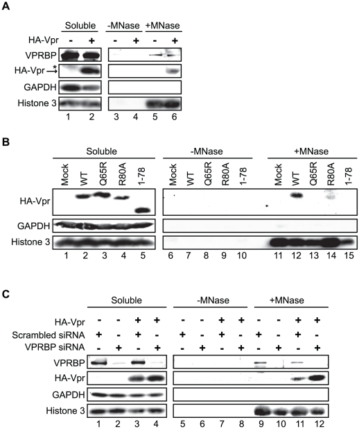 Association of Vpr with chromatin correlates with the formation of nuclear foci. A ) HeLa cells were transfected with plasmids expressing HA-tagged Vpr (WT) or an empty plasmid used as negative control. Forty-eight hours after transfection, cells were harvested and lysed with 0.5% Triton X-100. The soluble fraction was used as input control (Soluble). Insoluble debris containing chromatin was treated with microccocal nuclease (+MNase) or with buffer alone (−MNase). The resulting solubilized fractions and input controls were resolved by SDS-PAGE and analyzed by western blot. Specific monoclonal antibodies were used to detect GAPDH (cytoplasmic marker) and HA-Vpr. Histone 3 (chromatin marker) and VPRBP were detected using rabbit polyclonal antibodies. * Denotes a non-specific band detected with the anti-HA antibody. B ) HeLa cells were transfected with plasmids expressing HA-tagged Vpr (WT), Vpr (Q65R), Vpr (R80A), and Vpr (1–78). Cell extracts were processed and analysed as in A). C ) HeLa cells were first transfected with scrambled siRNA or siRNA targeting VPRBP. Twenty-four hours after transfection, cells were transfected with a plasmid expressing HA-Vpr (WT) or an empty plasmid as negative control. Cell extracts were processed and analyzed as in A).