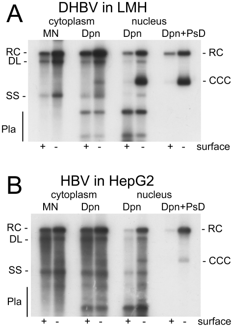 DHBV replication in avian cells and HBV replication in human cells. ( A ) Chicken LMH cells transfected with wild-type and surface-deficient DHBV. ( B ) Human HepG2 cells transfected with wild-type and surface-deficient HBV. DNAs were extracted, after prior PK digestion, from cytoplasmic lysates and the nuclear fractions. One aliquot of the cytoplasmic lysates was treated with micrococcal nuclease (MN) before DNA extraction and analyzed without further treatment. All other samples were incubated, post extraction, with either Dpn I alone (Dpn), or Dpn I plus Plasmid safe DNAse (Dpn+PsD). Nomenclature of the various DNA species: RC, relaxed circular; DL, double strand linear; SS, single strand; CCC, covalently closed circular DNA; Pla, Dpn I restriction fragments of transfected plasmid DNA.