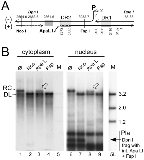 Site-specific discontinuity confirms the rcDNA nature of a substantial fraction of nuclear HBV DNA. Extensive nicking of HBV cccDNA might pretend an artifactually high ratio of rcDNA to cccDNA in the nucleus. However, nicking should occur at random whereas RC-DNA is distinctly discontinuous where the minus-strand and plus-strand DNA start. ( A ) Scheme of HBV rcDNA discontinuities. Restriction site positions are indicated with the first and last nucleotide of the recognition sequences. The Apa LI site is located immediately upstream of the plus-strand start. DNA in which the plus-strand is not sufficiently extended can not be cut. DR1 and DR2, direct repeats 1 and 2; wavy line at DR2, RNA primer at plus-strand 5′ end. ( B ) About one third of the rcDNA signal is resistant to Apa LI but not Nco I or Fsp I digestion. Cytoplasmic (treated with MN) and nuclear (treated with Dpn I) DNA preparations (both after prior PK digestion) were incubated with the indicated restriction enzymes. Consistently ( Figure S5B ), ∼35% of the rcDNA signal from the cytoplasm as well as the nucleus remained upon incubation with Apa LI (arrowheads) but not Nco I or Fsp I. Activity of Apa LI in the reactions is documented by the absence of a plasmid-derived Dpn I fragment containing internal sites for Apa LI and Fsp I but not Nco I. All samples were run on the same gel but a six-times longer exposure is shown for the nuclear samples; lane 5L on the longer exposure corresponds to lane 5 on the left panel. M, marker fragments of the indicated sizes (in kb).