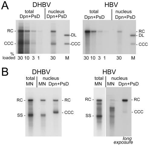 Intracellular distribution and nuclease sensitivity of viral DNAs. HepG2 cells were transfected with vectors for surface-deficient DHBV (left panels) or HBV (right panels). ( A ) Relative nuclear distribution. DNA was extracted, after prior PK treatment, from total cells or from gradient-purified nuclei and subsequently digested with DpnI plus PsD. Serially diluted samples were loaded on the gel. Loading volumes are indicated in percent of the total sample volume, obtained from one well of a 6-well plate. One of three experiments used for quantification (see text for details) is shown. ( B ) Direct comparison of MN resistant versus total nuclear viral DNA. DNA was prepared from total cell extract treated with MN plus PK (MN), or from gradient-purified nuclei; equal aliquots of the nuclei were treated with MN plus PK before DNA extraction (MN), or with only PK followed by incubation with Dpn I plus PsD (total nuclear DNA). A six times longer exposure for the nuclear HBV samples is shown to better reveal weak signals. Quantification indicated that only ∼10% of the nuclear full-length HBV versus ≥80% of the nuclear DHBV DNA were MN resistant.