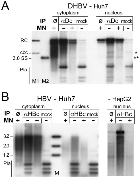 Core protein association of nuclear DHBV and HBV DNA. Vectors for surface-deficient DHBV and HBV genomes were transfected into Huh7 cells. IPs were performed in cytoplasmic extracts and extracts of purified nuclei containing 0.75× RIPA buffer, using antibodies against DHBV core protein (αDc) or HBV core protein (αHBc); in the mock IPs αDc was replaced by αHBc and vice versa. Immunopellets were treated with MN or not as indicated, and extracted after prior PK digestion. Purified DNAs from not MN-treated samples were digested with Dpn I. ø, extract directly treated with MN. ( A ) DHBV. M1, marker for cccDNA and rcDNA; M2, marker for single-stranded DNA; * and **, positions of cccDNA and ssDNA, respectively. ( B ) HBV. The rightmost panel shows the nuclear samples from an analogous experiment in HepG2 cells; the cytoplasmic samples are shown in Figure S7 .