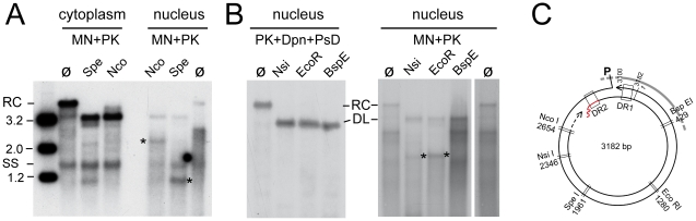 Restriction mapping of nuclear HBV rcDNA suggests genome region-selective MN accessibility. ( A ) Cytoplasmic versus nuclear MN-resistant viral DNAs. DNAs were isolated from HepG2 cells transfected with the surface-deficient HBV vector after prior MN plus PK treatment, and incubated with restriction enzymes Spe I and Nco I (ø, no restriction). Amounts equivalent to 10% of the total cytoplasmic fraction and 90% of the total nuclear fraction were loaded. ( B ) Total nuclear rcDNA versus MN resistant nuclear DNA. Viral DNA from isolated nuclei was prepared by either the PK plus Dpn I plus PsD procedure (total nuclear rcDNA), or after prior MN plus PK treatment (MN resistant nuclear DNA), and incubated with Nsi I, Eco RI or Bsp EI. Asterisks denote newly formed distinct fragments; lane ø on the right is a longer exposure of lane ø on the left. ( C ) Restriction map of HBV. The restriction sites probed in A and B are indicated. DR1 and DR2, direct repeats 1 and 2; P, covalently linked polymerase; wiggly red line, RNA primer at (+)-DNA 5′ end. Together, the patterns can consistently be explained if MN treatment removed a defined region from the rcDNA that approximately encompasses position 3000 to 500.