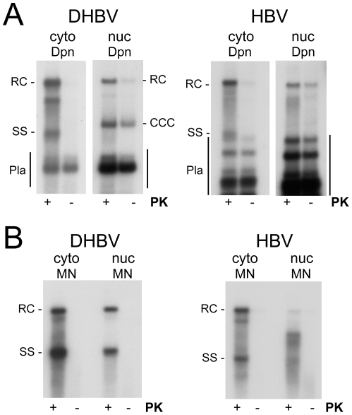 Polymerase linkage status of cytoplasmic versus nuclear viral DNAs. HepG2 cells were transfected with vectors for surface-deficient DHBV (left panels) or HBV (right panels). ( A ) Full-length rcDNA. DNA was extracted from cytoplasmic lysate (cyto) or gradient-purified cell nuclei (nuc) by phenol extraction with or without prior PK treatment (+/− PK) and subsequently incubated with <t>Dpn</t> I. For HBV small amounts of partial Dpn I digestion products extended up to close to the position of ssDNA (Pla). Note the comparably strong signal for nuclear, but not cytoplasmic, HBV rcDNA even without PK treatment. ( B ) Nuclease resistant DNAs. Cytoplasmic lysate and gradient-purified nuclei were treated with MN. Subsequently, DNA was prepared by phenol extraction with or without prior PK digestion. All samples not treated with PK produced only weak if at all detectable signals.