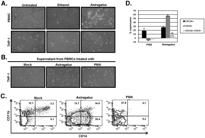 Astragalus membranaceus treatment of PBMCs led to monocyte maturation. Part A) PBMCs (upper panels) or the monocyte cell line THP-1 (lower panel) were untreated, treated with ethanol (25%), or treated with Astragalus extract for 18 hours. Following treatment, unattached cells were removed and the remaining attached cells photographed. Part B) PBMCs were untreated or treated with Astragalus extract or PMA for 18 hours. After 18 hours, the cell culture media was removed and cells pelleted by centrifugation. The cell-free culture media was added to THP-1 cells for an additional 24 hours. Following treatment, unattached cells were removed and the remaining attached cells photographed. Part C) Cell-free media from mock-, Astragalus, or PMA-treated PBMCs was added to THP-1 cells and incubated in uncoated plastic dishes. After 48 hours, cells were washed and stained with fluorochrome-conjugated antibodies specific for CD14 and CD11b followed by flow cytometry analysis. Part D) Cell-free media obtained from PBMCs isolated from two patients were used to treat THP-1 cells and analyzed for CD14 and CD11b expression as in Part C. Values indicated represent total CD14 cells, total CD11b cells and CD14/CD11b double-positive cells. Data was normalized to mock-treated samples.