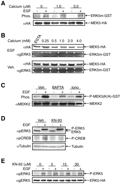 Calcium modifiers affect either MEKK2 or its upstream components, without involvement of CaMKII. ( A ) MEK5-HA transfected HeLa cells were either stimulated with EGF or left untreated. MEK5-HA was immunoprecipitated and its in vitro kinase activity towards K/A ERK5 (1 – 397)-GST was measured in the presence of the indicated calcium concentrations. ( B ) Exogenously expressed MEK5-HA was immunoprecipitated from HeLa cells, which were either stimulated with EGF (20 ng/ml, two upper panels) or were left without treatment (two lower panels). The MEK5 was than subjected to in vitro binding assay with K/A ERK5(1 – 397)-GST, in the presence of indicated calcium concentrations or calcium chelator EGTA. ( C ) MEKK2 was immunoprecipitated from the cells treated with vehicle, BAPTA-AM or ionomycin in combination with or without EGF (20 ng/ml). Its activity was measured by the incorporation of radioactive phosphate to recombinant MEK5-GST. ( D ) HeLa cells were pretreated with 30 µM of KN-93 for 30 min and then stimulated with EGF (20 ng/ml) for 10 min. ERK5 activation was measured by band up-shift of endogenous ERK5 detected by anti general ERK5 Ab, CREB phosphorylation was detected by anti pCREB Ab, and anti tubulin Ab was used as a loading control. ( E ) ERK5-HA transfected HeLa cells were pretreated with KN-62 in different concentrations for 1 h. After EGF stimulation, ERK5-HA activation was measured with anti pERK5 Ab in Western blot analysis. All the experiments in this figure were reproduced at least three times.