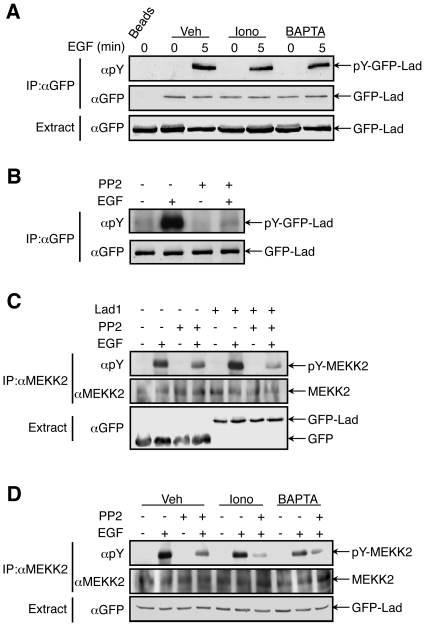 Calcium modulates Tyr phosphorylation of MEKK2 but not of Lad1. HeLa cells transfected with GFP-Lad1 were subject to different treatments as indicated (EGF 20 ng/ml; ionomycin (1 µM) or BAPTA-AM (15 µM) for 15 min; PP2 3 µM). GFP-Lad1 was immunoprecipitated with anti GFP Ab ( A, B ). Endogenous MEKK2 was immunoprecipitated by anti-MEKK2 Ab ( C, D ). Their phsophorylation on Tyr residues was detected by pY99 Ab. The experiments in this figure were reproduced 3 times.