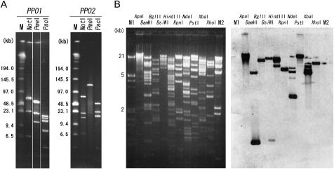 Analysis of barley BAC clones containing either the PPO1 or the PPO2 gene. (A) After digestion with eight-base cutters, BAC DNA was separated by pulsed-field gel electrophoresis. (B) BAC DNA containing the PPO1 gene was digested with various six-base cutters and separated using electrophoresis on a 1% agarose gel (left). Southern blot was probed with the PPO1 fragment (right). M1: DNA molecular weight marker III (Roche). M2: λ Hin dIII digest.