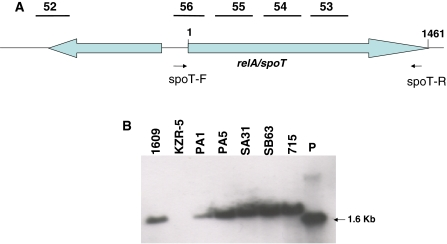 Detection of a deletion incurred in R. solanacearum biovar 2 strain KZR-5. A Localization of five sequences of strain 715 in the strain 1609 genome. The numbers 52–56 correspond to sequences of clones shown in Table 2 . The spoT-F and spoT-R: indicate primers used for PCR amplification of the relA/spoT 1.6 Kb fragment. Positions 1 and 1,461 of relA/spoT (RSIPO_04909) correspond to positions 238,741 and 237,281 in the genome of strain 1609. B Southern blot analysis of genomic DNA of different R. solanacearum strains after restriction with Pst I using a 1.6 Kb relA/spoT fragment as DNA probe. The R. solanacearum strains used for hybridization are indicated in the figure. Lane P is unlabeled DNA probe