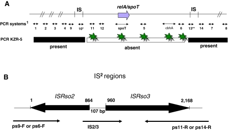 Primer systems used to characterize the identified region ( A ) and the composition of the IS blocks ( B ). A Upper line : inferred localization of IS elements and the relA / spoT region and PCR systems based on genomic information of strain 1609. IS: unassigned nucleotides in the 1609 genome which represent insertion sequences. Superscript 1 Numbers: primer systems, corresponding to primers shown in Table 3 (ps1 through ps15; ps15 not indicated here). PCR systems consisted of two PCR primers (e.g. 1: ps1-F/ps1-R, 2: ps2-F/ps2-R, etc.). *: ps10 amplifies ISRso3 . **: ps13 amplifies ISRso2s . Second line : Presence and absence of sequences in strain KZR-5 on the basis of PCR and hybridization. : The absence in strain KZR-5 was confirmed by Southern blot analysis using the corresponding PCR products of strain 1609 as DIG labeled DNA probes. B Insertion sequence (IS) regions determined by sequence analysis of PCR products of strains 715 and 1609 that were obtained with primer combinations ps9-F/ps11-R or ps6-F/ps14-R. The position of the sequencing primers (ps9-F, ps6-F, ps11-R, ps14-R and IS2/3) is indicated. Superscript 2 : IS regions correspond to the two IS regions, which are similar, shown in A (IS)
