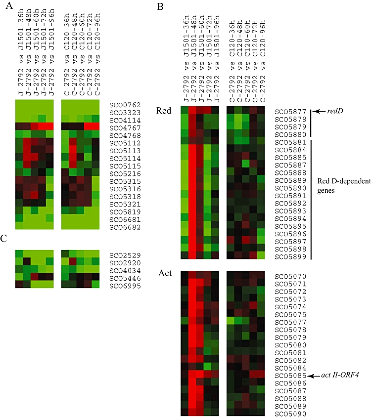 Microarray analysis of global transcriptional profile of J-2792 (Δ <t>adpA</t> ) compared with J1501 (morphologically wild type) (left panel), and C-2792 ( absB , Δ adpA ) compared with C120 ( absB mutant) (right panel). <t>RNA</t> samples from these four strains were isolated at the indicated time points (shown above the figure) during parallel growth on R5 media. Cy5-dCTP (red)-labelled cDNA corresponding to transcripts isolated from J-2792 (Δ adpA ) were mixed with corresponding Cy3-dCTP (green)-labelled cDNA derived from J1501 (control strain transcripts obtained at the same time points); Cy5-dCTP labelled cDNA samples derived from the C-2792 ( absB , Δ adpA ) were hybridized with the same time point Cy3-dCTP labelled cDNA sample of C120 ( absB mutant). Differences in transcript abundance for each gene (SCO designates are shown) are displayed by means of a colour scale, in which colour saturation represents the magnitude of the difference of RNA abundance between the detected strains (J-2792 or C-2792) and control strains (J1501 or C120) at the same indicated time point. The brighter red shades represent higher transcript abundance and brighter green shades represent lower transcript abundance in the detected stain comparing with the control strain (listed second among the strains pairs). Black indicates equal RNA abundance between the two strains, and grey represents the absence of data. Ratios of genes having multiple spots on the array were averaged. A. Selected sporulation-associated genes. B. Red and Act secondary metabolite pathway genes. C. Selected protease genes. Sporulation-associated and protease genes were selected on the basis of annotation information in StrepDB – The Streptomyces Annotation Server in the Sanger Institute.