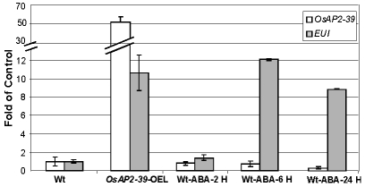 Exogenous application of ABA induced EUI in the wild-type rice leaves. A quantitative gene expression study using the qRT-PCR analysis of EUI after 2 hours (2 H), 6 hours (6 H) and 24 hours (24 H) of 10 µM ABA application showing that EUI is highly upregulated in rice leaves when treated with ABA after 6 hours. Actin 2 was used as an internal control. Bars represent mean ±SE (n = 3).
