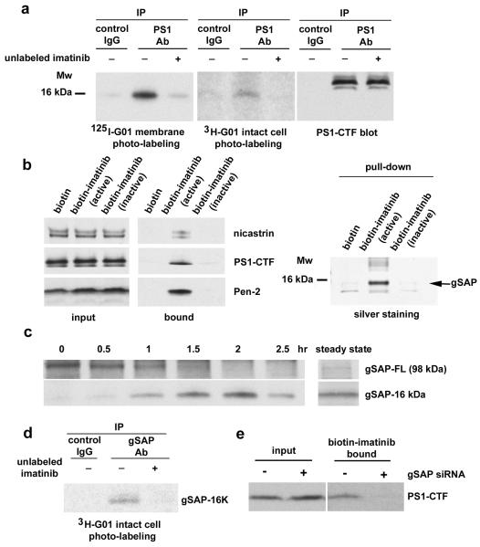 "Identification of gSAP as an imatinib target a: A PS1-associated 16 kDa protein is labeled by a photoactivatable imatinib derivative. Left panel: photolysis of 125 I-G01 with membrane preparations. Middle panel: photolysis of 3 H-G01 with intact HEK293 cells. Right panel: PS1-CTF migrated with a slower mobility than the labeled 16 kDa band and was not labeled by G01. Labeling specificity was confirmed by competition with unlabeled imatinib. b: Solubilized endogenous γ-secretase components from HEK293 cells were bound to immobilized biotin-imatinib (left panel). Among the proteins bound to biotin-imatinib, a ~ 16 kDa band was detected by silver staining and was identified as the C-terminal domain of gSAP (right panel, arrow and label ""gSAP""). Biotin-coated beads and an inactive biotin-imatinib derivative (see supplementary Fig. 3 ) served as controls. c: Endogenous gSAP in N2a cells was synthesized as a full length 98 kDa-precursor protein and rapidly processed into a 16 kDa C-terminal fragment. Under steady-state conditions, the predominant cellular form of gSAP was 16 kDa. d: Endogenous gSAP-16K was specifically labeled by 3 H-G01 in neuroblastoma cells. e: After gSAP siRNA knockdown in N2a cells, immobilized biotin-imatinib no longer captured PS1."