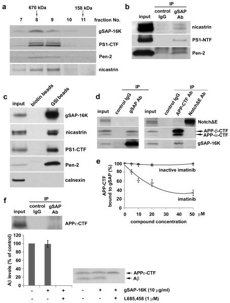 gSAP interacts with γ-secretase and APP-CTF but not with Notch a: Endogenous gSAP-16K in solubilized membrane preparations from N2a cells co-migrated with γ-secretase components during gel filtration (void volume: fraction 6). b: Immunoprecipitation of endogenous gSAP from N2a cells resulted in co-immunoprecipitation of γ-secretase components. c: Endogenous gSAP-16K and γ-secretase components are highly enriched by an immobilized γ-secretase transition state analogue (GSI beads). d: In HEK293 cells, gSAP-16K and APP-CTF, but not NotchΔE, co-immunoprecipitated. e: Imatinib treatment reduced the co-immunoprecipitation of APP-CTF and gSAP in a concentration-dependent manner. An inactive imatinib derivative (IC200001, see supplementary Fig. 3 ) served as a negative control. f: In HEK293 cells, APP-CTF without the cytoplasmic domain (APPε-CTF) did not co-immunoprecipitate with gSAP-16K (upper panel); γ-cleavage of APPε-CTF was not stimulated by gSAP-16K in an in vitro assay (lower panel).
