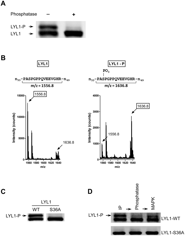 LYL1 is phosphorylated by MAPK at Serine 36. A ) Dephosphorylation of LYL1 by Alkaline Phosphatase. Protein A/G beads with bound, immunoprecipitated LYL1-WT were treated with the Calf Intestinal Alkaline Phosphatase for 1 h. The samples were then analyzed by anti-V5 immunoblotting. The shown image is representative of four experiments.  B ) Mass fingerprinting of phosphorylated and non-phosphorylated LYL1. The upper, phosphorylated and the lower, non-phosphorylated bands of immunoprecipitated LYL1were excised, digested and mass fingerprinted by MALDI-TOF mass spectrometry. The histograms, representative of two experiments, show the measured m/z values of the peptide spanning residues 34 through 48 derived from the non-phosphorylated (LYL1) and the phosphorylated (LYL1-P) LYL1.  C ) Expression analysis of LYL1-WT and LYL1-S36A. LYL1 wild type and S36A variant were transiently expressed in 293T cells, immunoprecipitated and analyzed by western immunoblotting.  D ) Phosphorylation of LYL1 by the MAPK. Immunoprecipitated LYL1-WT and LYL1-S36 were first treated with Protein Phosphatase 1 to remove all phosphate modifications. Then, re-phosphorylation was attempted by treatment with the MAP kinase. The proteins were resolved and analyzed by anti-V5 immunoblotting. The images are representative of four experiments.