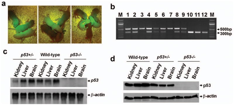Generation of p53 gene knockout rats a, Offspring generated by intercrossing p53 tm1(EGFP-pac) heterozygote rats. b, Genotyping analysis on tail biopsies using PCR primers shown in Fig. 3c . M, 100bp DNA marker; 1–9, the nine GFP-positive offspring; 3 and 7, the two p53 tm1(EGFP-pac) homozygote pups; 10–12, the three GFP-negative offspring. c, Detection of p53 mRNA by Northern blot. Northern analysis was performed by sequential hybridization with probes for p53 and β-actin . d. Detection of p53 protein by Western blot.