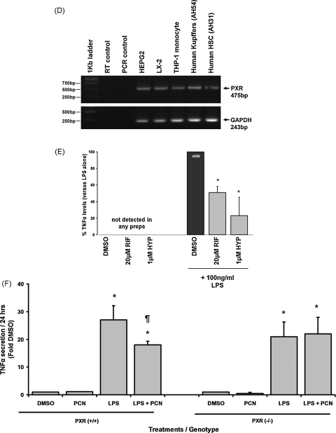 Effect of PXR activators or NF-κB inhibitors on TNFα-promoter reporter gene expression. (A and C) Cells were transfected with either pXP1 (EMPTY) or TNFα-Prom, both with renilla plasmid RL-TK (10:1 ratio). After 24 h, cells were treated as indicated (DMSO, 0.5% (v/v); RIF, 20 μM; HYP, 1 μM; METYR, 250 μM; PCN 20 μM; SULF 1 mM; IKK2-In 10 μM; GT, 3 μM) and after a further 24 h, cells were harvested and reporter gene expression determined. Data are the mean and standard deviation of 3 separate experiments, significantly different ( P > 95%) reporter gene expression versus *untreated or DMSO vehicle control; $ versus TNFα-induced DMSO control or ¶ LPS-induced DMSO control using Student's t -test (two tailed). (B) RT-PCR for TLR4 and TNFR1 in the various cell types (amplified product from the equivalent 50 ng template total RNA per well, 35 PCR cycles). (D) RT-PCR for human PXR and glyceraldehyde phosphate dehydrogenase (GAPDH) transcripts in the indicated cell types (amplified product from the equivalent 50 ng template total RNA per well, 35 PCR cycles). (E) percentage secretion of TNFα over 24 h by human Kupffer cells versus LPS treatment alone (100% arb). Cells were incubated with the indicated PXR activator (RIF or HYP) added from a 1000-fold molar concentrated stock in dimethyl sulfoxide (DMSO). DMSO, 0.1% (v/v) as control. Data are the mean and standard deviation of results from 3 separate patient cell preparations. *Significantly different secretion ( P > 95%) versus LPS + DMSO using Student's t -test (two tailed). (F) TNFα secretion by Kupffer cells isolated from PXR +/+ or PXR −/− mice expressed as the mean and standard deviation levels from 3 separate incubations from a single pool of cells versus DMSO treated cells. DMSO, 0.5% (v/v); PCN, 20 μM from a 4 mM stock in DMSO, LPS, 100 ng/ml. Results are typical of 3 separate experiments. Significantly different ( P > 95%) compared to *DMSO or ¶ LPS-treated cells using Student's t -test (two tailed).