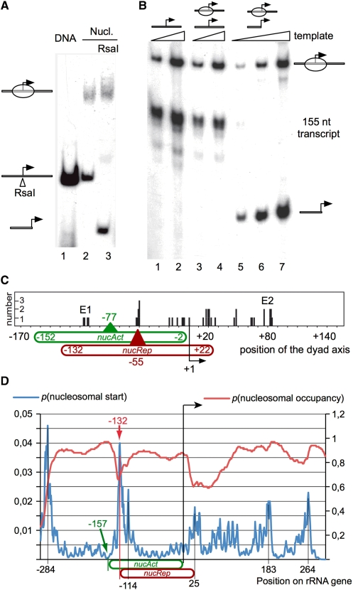 rRNA genes are switched off in chromatin. ( A ) Reconstitution of mononucleosomes on a 330 bp (–175 to +155) rDNA fragment. The end-labelled DNA was reconstituted into mononucleosomes by salt dialysis reconstitution (lanes 1 and 2) and analysed by native PAGE. Nucleosomal DNA molecules harbouring a nucleosome on the transcription start site were selected by digestion with the restriction enzyme Rsa I (lane 3). The positions of the nucleosomal DNA, the undigested and digested DNA fragment are indicated. ( B ) Transcription assay with free and nucleosomal rDNA fragments. Increasing amounts of free DNA (lanes 1 and 2), a mixture of free DNA and nucleosomal DNA (lanes 3 and 4) and Rsa I-selected nucleosomal DNA (lanes 5–7) were incubated with the transcription extract. The radioactive labelled transcripts were analysed by native PAGE. The nucleosomal templates used for the transcription reactions are shown above the gel. The positions of the undigested or nucleosomal rDNA fragment, the digested free DNA and the 155-nt-long transcript are indicated on the right. ( C ) Analysis of nucleosome positions on the rDNA promoter. Mononucleosomal templates (–175 to +155) were digested with MNase, and the protected nucleosomal DNA was gel-purified, cloned and sequenced. The graph shows the positions of the nucleosomal dyad axis. The positions of the nucAct and nucRep nucleosomes observed in vivo are indicated with the 5′, 3′ and dyad axis positions relative to the rRNA gene transcription start site. E1 and E2 indicate the dyad axis positions of nucleosomes located at the end of the DNA fragment. ( D ) Prediction of nucleosome positioning by the probability of nucleosome occupancy and the probability of encountering a nucleosomal start site. rRNA sequences from position –5000 to +5000 relative to the transcription start site were used for computational analysis at http://genie.weizmann.ac.il/pubs/nucleosomes06/ ( 13 ). The graph displays a window of the calculated predictions, ranging from position –300 to +300 within the rDNA sequence. Peaks of high p (nucleosomal start) values, indicating a high probability for a nucleosomal start site, are indicated. The two nucleosomal positions identified on the rRNA gene in vivo are indicated [ nucAct –157 to –2 (green); the repressive nucleosome position –132 to +22 (red)].