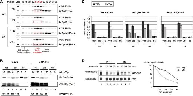 Stabilization of cellular Rrn3p levels attenuates the reduction in initiation competent Pol I–Rrn3p complexes observed upon nutrient depletion. ( A ) Gelfiltration analysis. Yeast strains pNOP1-RRN3-Prot.A (WT) and pNOP1-RRN3-ΔN-Prot.A (ΔN) were grown in YPD at 30°C to mid-log phase. Cells were either starved for 2 h in SDC-Trp (-Trp) or further cultured in YPD and collected by centrifugation. After lysis, same amounts of WCE (900 µg) were separated on a Superose-6® column in a buffer containing 1.5 M potassium acetate. An amount of 250 µl of the collected 500 µl fractions were TCA precipitated and analysed by western blotting together with the 'Load' (30 µg). Antibodies used were directed against the Prot.A-tag of the Rrn3p versions and the Pol I subunit A135, respectively. The gel filtration fractions containing the initiation competent Pol I–Rrn3p complexes are labelled in red. ( B ) Co-immunoprecipitations. Yeast strains TOY 684 (WT) and TOY 685 (ΔN), both expressing chromosomally HA 3 -tagged Pol I subunit A43 and either full length or truncated Prot.A-tagged Rrn3p, were grown in YPD at 30°C to mid-log phase and half of the cells was crosslinked with 1% formaldehyde, harvested and lysed ( t = 0 min). The remainder of the cells was starved in SDC-Trp (-Trp) for 2 h and treated as described above ( t = 120 min). The HA 3 -tagged Pol I subunit A43 was immunoprecipitated (α-HA-IPs) from 250 µl of extracts (Inputs) with anti-HA antibody. Fifty percent of the α-HA-IPs as well as 1% of the inputs were analysed by western blotting using antibodies directed against the Prot.A-tag of the Rrn3p versions and the HA-tag of the Pol I subunit, respectively. As a control an identical co-immunoprecipitation experiment was performed using extracts from yeast strain pNOP1-RRN3-Prot.A and pNOP1-Rrn3-ΔN-Prot.A, which do not express the HA-tagged Pol I subunit A43 (ctr.). Western blot signal intensities were measured, and quantified using the LAS 3000 imaging system and the AIDA sof