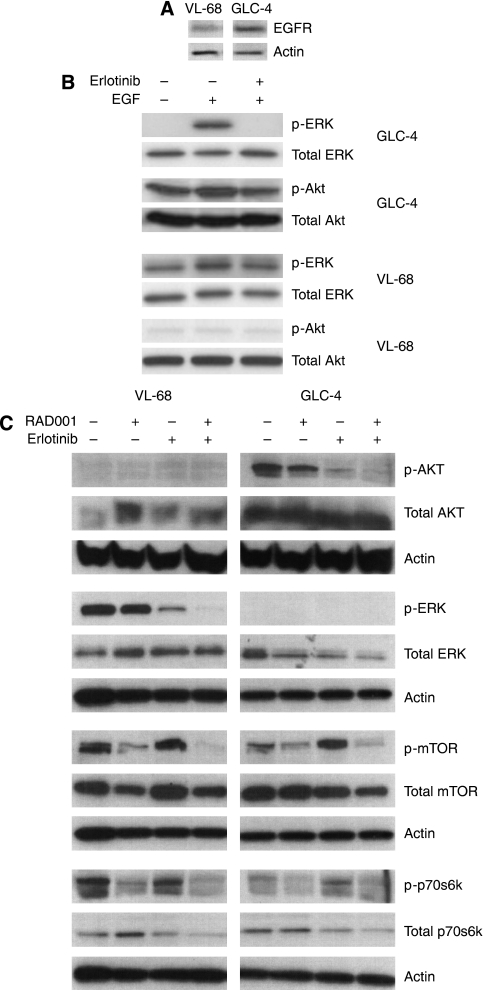 Effects on EGFR and mTOR pathways after treatment of SCLC cells with erlotinib, RAD001 and a combination of both. ( A ) GLC-4 and VL-68 cells do express EGFR. ( B ) GCL-4 and VL-68 cells were treated with 5 μ erlotinib±EGF (100 ng ml –1 ) for 10 min and blotted for p-ERK, p-AKT and respective total proteins. ( C ) VL-68 and GCL-4 cells were treated with 5 μ erlotinib, 5 n RAD001 or a combination of both for 24 h, and then immunoblotted for total and phospho-protein expression of AKT, ERK, mTOR and p70s6K.