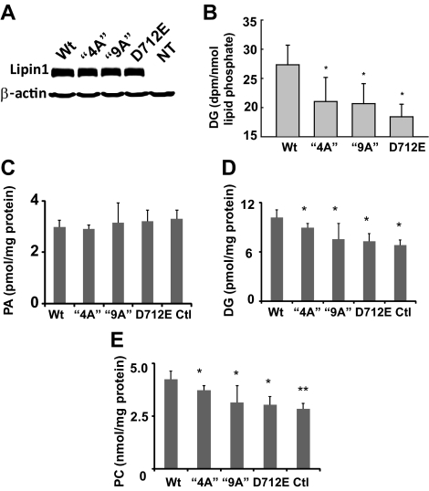 Effects of overexpression of lipin1β wt and mutants on diacylglycerol (DG), phosphatidylcholine (PC), and phosphatidic acid (PA) levels. (A) HA-tagged wt lipin1β and the indicated mutants were overexpressed in HepG2 cells and detected by Western blotting. (B) HepG2 cells expressing wt lipin1β and the indicated mutants were radiolabeled with [ 3 H]palmitic acid for 24 h. DG levels were determined after separation by TLC, and quantitation by scintillation counting. (C–E) Levels of 16 abundant molecular species of PA, DG, and PC were determined in HepG2 cells overexpressing lipin1β wt, and mutants incubated with 1 μM palmitic acid were measured by HPLC ESI MS/MS. Data are means ± SD of at least three independent determinations.
