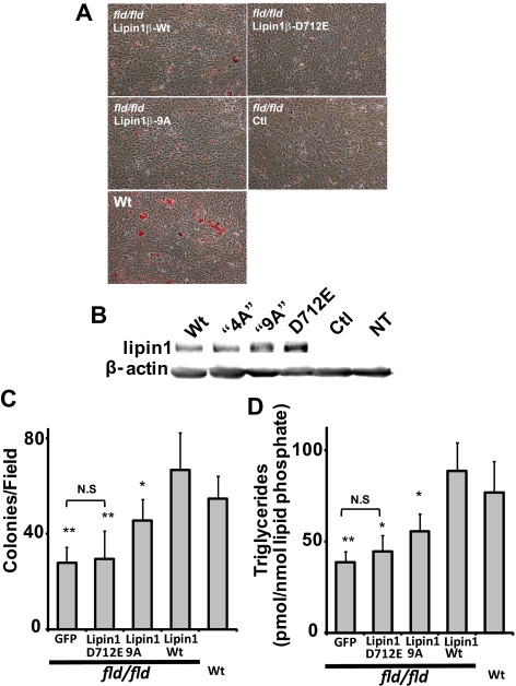 The polybasic motif plays an important role in complementation of the adipogenesis defect of fld/fld mouse embryo fibroblasts by lipin1β. (A) Oil red-O staining (red) of differentiated wt and fld/fld mouse embryo fibroblasts expressing wild-type lipin1β, the indicated lipin1β mutants, or a GFP control using lentivirus vectors at day 6 postinduction of differentiation. (B) Expression of lipin 1 variants was quantitated by Western blotting. (C) Adipogenic differentiation was quantitated by counting the number of oil red-O–stained colonies per field. (D) Adipogenic differentiation was quantitated by measuring total TG levels (the sum of 36 abundant TG species) using HPLC ESI MS/MS. Data shown are means ± SD of three or more independent determinations. Statistically significant differences between cells expressing wt lipin 1 and the indicated lipin 1 mutants are indicated by asterisks. Note that TG accumulation or the number of differentiated colonies was not significantly different (N.S.) between cells expressing GFP or Lipin1 D712E.