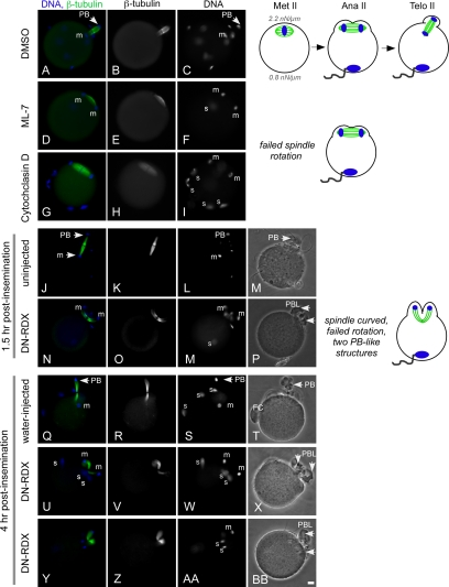 Spindle defects upon exit from metaphase II arrest with actin, myosin-II, or ERM disruption. Eggs were inseminated for 1.5 h (A–P) or 4 h (Q-BB). Control fertilized eggs (A–C, J–M, and Q–T) show normal spindle rotation and second polar body morphology, as illustrated in the schematic diagram. A failure in spindle rotation was observed in eggs treated with the MLCK inhibitor ML-7 (D–F; 73/75 eggs) and in eggs treated with the actin filament disruptor cytochalasin D (G–I; 34/34 eggs). Distorted, curved spindles were observed in DN-RDX–expressing eggs (N–P, U-BB; 26/36 eggs). In these embryos, two polar body-like (PBL) structures formed; these PBL structures did not resolve with increased time after insemination (U-BB). Arrowheads identify polar bodies (PB) and PBL structures. Maternal DNA is labeled m, and sperm DNA is labeled s; some eggs are polyspermic, although this is not uncommon with the insemination conditions used, particularly with cytochalasin D–treated eggs ( McAvey et al. , 2002 ). In several panels, DNA of the fertilizing sperm is out of the plane of focus. FC (T) identifies the fertilization cone containing the DNA of a fertilizing sperm. Scale bar, (DD) 10 μm.