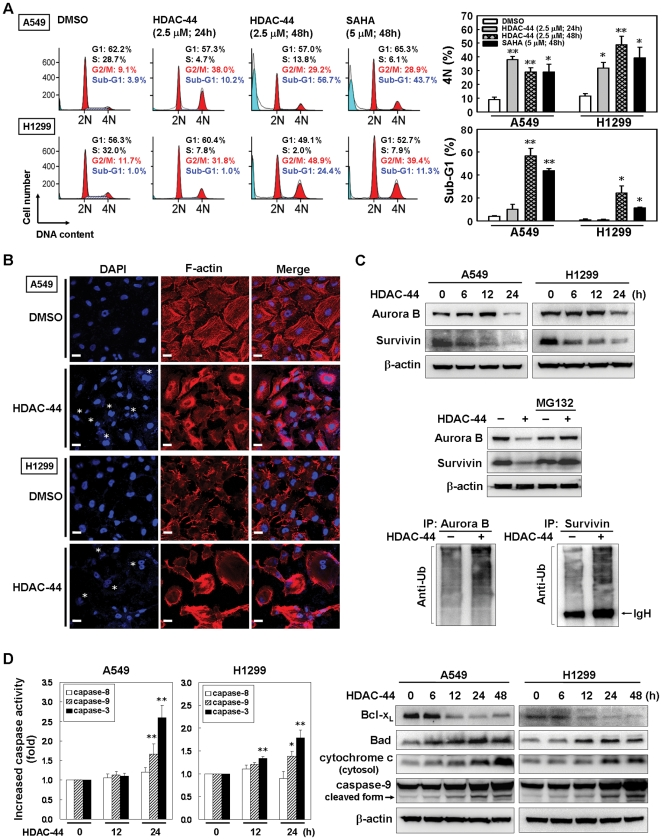 OSU-HDAC-44 induces cytokinesis inhibition and subsequently leads to intrinsic apoptosis. ( A ) The effects of OSU-HDAC-44 on cell cycle distribution in A549 and H1299 cells. Cells were treated with 2.5 µM OSU-HDAC-44 or 5 µM SAHA for indicated times and assessed by flow cytometry. Left , results from one representative experiment are shown. Right , the mean percentage of G2/M and sub-G1 fraction population is plotted in the histogram. ( B ) The bi-nucleated cells and dysregulation of F-actin induced by OSU-HSAC-44. Cells were treated with 2.5 µM OSU-HDAC-44 for 48 h, and then fixed and stained with DAPI (DNA) and phalloidin (F-actin). Asterisk pointed to the bi-nucleus. Scale bars: 30 µm. ( C ) OSU-HDAC-44 induced degradation of Aurora B and survivin via 26S proteasome pathway. Upper , time-dependent decreases in Aurora B and survivin protein levels after 2.5 µM OSU-HDAC-44 treatment. Middle , A549 cells were treated with 2.5 µM OSU-HDAC-44 in the presence or absence of MG132 for 24 h. Lower , A549 cells were treated with 2.5 µM OSU-HDAC-44 for 24 h and cell lysate was subjected to IP assay using anti-Aurora B or anti-survivin specific antibodies and blotted with anti-ubiquitination antibody (Anti-Ub). ( D ) Caspase activity assay ( left) and Western blot analyses ( Right) confirmed that OSU-HDAC-44 induced intrinsic apoptosis pathway. Cells were treated with 2.5 µM OSU-HDAC-44 for indicated times and the subjected to caspase activity assay and Western blot analyses. Data represent mean ± SEM from three independent experiments. * P