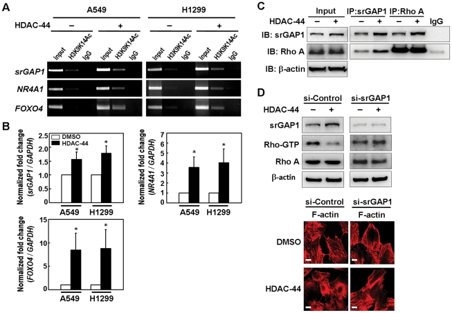 OSU-HDAC-44 decreased RhoA activity via srGAP1 induction, leading to F-actin dysregulation. ( A ) Chromatin-immunoprecipitation-PCR analyses confirmed that treatment with 2.5 µM OSU-HDAC-44 for 2 h induced acetylation of histone H3 (H3K9K14Ac) in the promoter region of srGAP1 , NR4A1 and FOXO4 genes. ( B ) OSU-HDAC-44 increased the mRNA levels of srGAP1 , NR4A1 and FOXO4 genes using real-time RT-PCR analyses. Cells were treated with 2.5 µM OSU-HDAC-44 for 24 h and total RNA was extracted for the real-time RT-PCR analyses. Data represent mean ± SEM from three independent experiments. * P