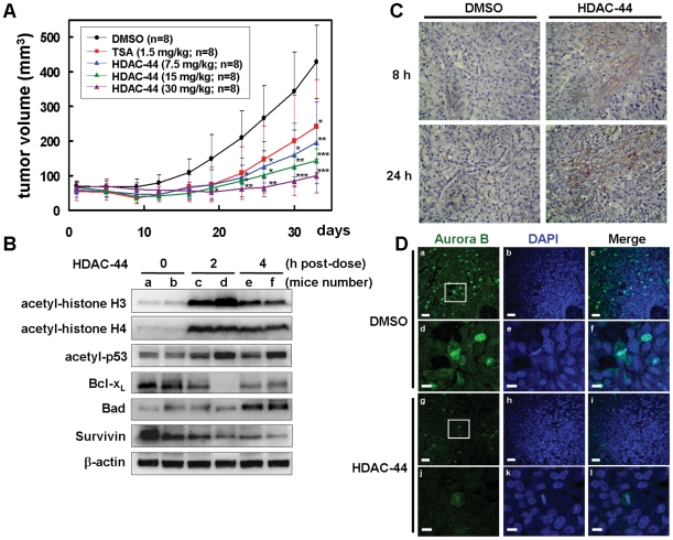 OSU-HDAC-44 effectively induced apoptosis and inhibited A549 xenograft growth. ( A ) Mice bearing the established A549 tumors (∼50 mm 3 ) were injected intraperitoneally with 7.5, 15 or 30 mg/kg of OSU-HDAC-44 or 1.5 mg/kg of TSA 3 days/week for three weeks. Eight mice per group were used in the xenograft experiment. The tumor volumes of mice were measured. Points, mean; error bars, 95% confidence intervals. P values were for comparisons with vehicle control (* P