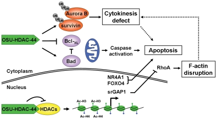 The antitumor activity of OSU-HDAC-44 via cytokinese defect, F-actin disruption, apoptosis induction, and gene acetylation. OSU-HDAC-44 is a novel pan-HDAC inhibitor that exhibits a broad spectrum of antitumor activities in NSCLC cell and xenograft models, which involves histone acetylation-dependent activation of gene transcription in nucleus. For example, re-expression of NR4A1 and FOXO4 along with caspase activation induces intrinsic apoptosis. In addition, RhoA/F-actin motility control is inhibited by srGAP1 resulting from activation by OSU-HDAC-44. OSU-HDAC-44 also induces post-translational down-regulation of mitotic regulators, Aurora B and survivin leading to cytokinese defect and apoptosis.