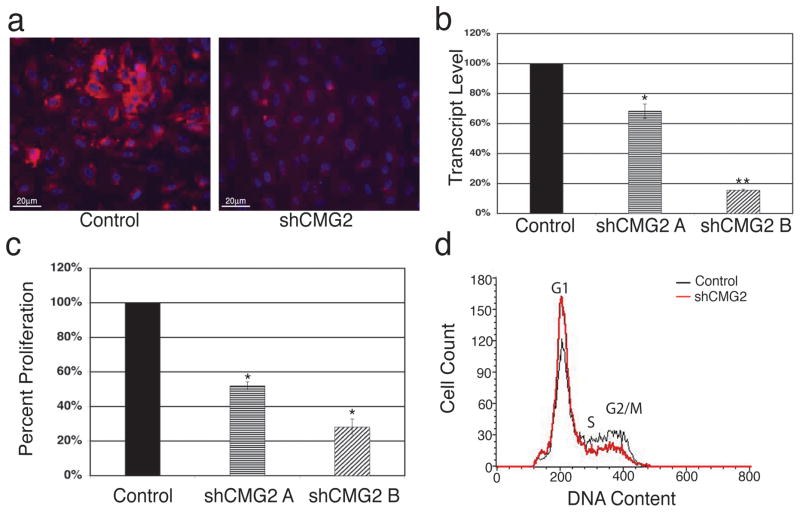 Knockdown of ANTXR2/CMG2 expression inhibits HUVEC proliferation (a) Fluorescent microscopy images of retrovirally-infected HUVEC empty vector (control) or ANTXR2/CMG2 shRNA (shCMG2) cell lines immunostained with anti-CMG2 antibody; Red-ANTXR2/CMG2, Blue-nuclei (DAPI). 20X magnification. (b) Real time PCR analysis on total cDNA from HUVEC empty vector (control) or two different cell lines expressing shRNA specific for ANTXR2/CMG2 (shCMG2 A shCMG2 B) to detect knockdown of gene expression. β-actin expression was used to normalize samples. The data is shown as percentage of control ± standard deviation and represents two independent experiments. (* P