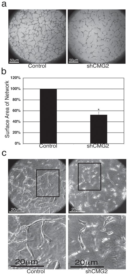 Knockdown of ANTXR2/CMG2 expression inhibits HUVEC network and tube formation (a) Retroviral HUVEC lines expressing ANTXR2/CMG2 shRNA (shCMG2) showed reduced ability to form networks when compared with empty vector (control) HUVEC in the capillary-like network formation assay. Images were taken at 5X magnification. A representative experiment is shown. (b) Quantification of surface area covered by networks in control and shCMG2 HUVEC lines. Data is shown as percentage of control ± standard deviation. (* P