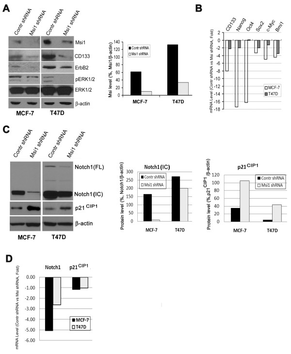 Msi1 'knockdown' by a shRNA preferentially reduces CD133 + cells and stem cell marker expression . A . Lentivirus expression of an Msi1 shRNA. Left, 'Knockdown' (KD) of Msi1 in MCF-7 and T47D spheroid cells by an Msi1 shRNA (Msi1 shRNA) reduces Msi1, CD133, <t>ErbB2</t> and pERK expression vs. the control shRNA (Contr shRNA). Right panel, quantitation of the western blot indicates that Msi1 was reduced by 77-84% in MCF-7 and T47D cells. B . Msi1 KD reduces stem cell marker expression in MCF-7 and T47D cells. CD133, Nanog, Oct4, Sox2, c-Myc and Bmi1 mRNA levels were determined by qRT-PCR. All stem cell markers, with the exception of Oct4 in T47D cells, were reduced by Msi1 knockdown. C . Left panel, Msi1 KD reduces Notch1 and increases p21 CIP1 in MCF-7 and T47D spheroid cells. IC, Notch intracellular domain; FL, full-length Notch1. Middle panel, quantitation of Notch1 expression. Right panel, quantitation of p21 CIP1 expression. D . Msi1 KD reduces Notch1 mRNA 2.7-5-fold, but not p21 CIP1 , in MCF-7 and T47D spheroid cells, respectively.
