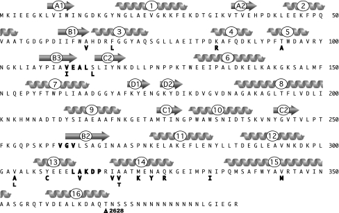"""Sequence of MBP2 and location of mutations. Mutations are indicated in bold under the amino acid sequence. Δ2682 indicates a deletion of a thymine at position 2682 in the DNA sequence, which leads to a frameshift of the subsequent residues in MBP2. Secondary structural elements are indicated above the sequence, arrows for β-sheets and helices for α-helices, according to the PDB file 1ANF (Spurlino et al. 1991 ). The β-sheets are labeled with a letter to indicate the structural element and a number to indicate the strand in that element; e.g., β-sheet """"A"""" is made up of two strands, A1 and A2. Helices are indicated by a number . The numbering of the mutations we obtained ignores the N-terminal methionine present in MBP2, to simplify comparison to the structure and the previous literature. The sequences corresponding to the hinges between the two domains are indicated as bold letters embedded in the sequence"""