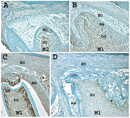 N-cadherin is expressed in wild-type secretory stage ameloblasts, but not in p120 ablated ameloblasts. In the less mature second molar (M2), N-cadherin was not expressed (A) in the enamel organ (EO) or pulp organ (PO) of three day-old mice. In the more mature first molar (M1), N-cadherin was expressed (B, C). After dentin matrix deposition, odontoblasts (Od) and ameloblasts (Am) showed lateral membrane immunostaining for N-cadherin, and the apical and basal terminal web apparatus of ameloblasts were also stained positively (B). After enamel matrix deposition, the odontoblasts stain intensely (C). A developing cusp tip from the first molar of a P3 K14-Cre p120-cKO mouse stained for N-cadherin (D). N-cadherin expression was detected in odontoblasts, but not in the ameloblasts from this molar. Note that the dentin appears rough and mildly dysplastic.