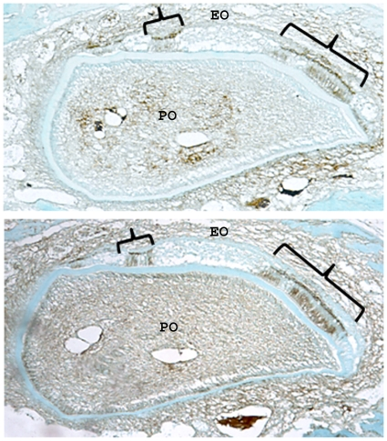 E-cadherin is only expressed in ameloblasts capable of expressing p120. In the same K14-Cre p120-cKO mosaic incisor shown in Figure 8 , E-cadherin (top) and p120 catenin (bottom) was immunolocalized in adjacent cross-sections. E-cadherin is expressed exclusively in normal appearing ameloblasts (brackets) that also express p120. However, in flattened, malformed ameloblasts where p120 was ablated, immunostaining for E-cadherin was not detectable. EO, enamel organ; PO, pulp organ.