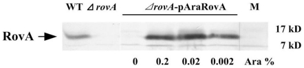 RovA expression in Y. pestis strain 201, the ΔrovA mutant and ΔrovA- pAraRovA. Overnight cultures of bacterial strains grown in BHI at 26°C were harvested and whole cell lysates were separated by SDS-PAGE. The expression of rovA was detected by Western blotting using a rabbit polyclonal antibody against His-tagged RovA. For the induction of RovA expression in ΔrovA- pAraRovA, arabinose was added to the culture medium at the indicated concentration.