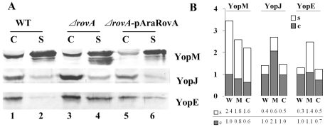 Influence of RovA on Yop expression and secretion. Bacterial strains were grown in TMH medium without calcium at 26°C to an OD 600 of ∼1.0 and then transferred to 37°C for 3 h to induce the expression and secretion of Yop proteins. TCA was used to precipitate proteins from the culture supernatants. The bacterial cell pellets were separated by SDS-PAGE, and specific proteins were detected using rabbit polyclonal antibodies against YopE, YopJ and YopM (A). C and S stand for proteins separated from the cell pellet and bacterial culture supernatant, respectively. In lane 4, the band right below the YopM band could be the degraded product of YopM, and a large amount of this product could be stably detected in the ΔrovA mutant; however, it was much less in the wild type and the ΔrovA mutant complemented with ΔrovA- pAraRovA. Densitometry analysis of Western blots was performed using TotalLab software, and the numbers indicate the ratios of the densitometry values from each lane to lane 1 of each row (B). W: wild type strain; M: mutant strain ΔrovA ; C: complementary ΔrovA- pAraRovA strain.